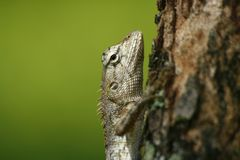 Lizard on tree royalty free stock photos