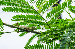 Lizard on the tree in green nature Royalty Free Stock Photography