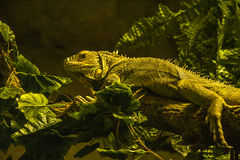 Lizard on the tree. Lizard hunts on a tree branch Stock Photo