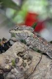 Lizard in a tree, with intelligent look Royalty Free Stock Photography