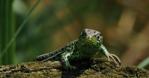 Lizard On A Tree 4k stock footage