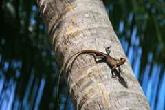 Lizard on the tree in maldives Royalty Free Stock Photos