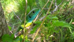 Lizard on a tree Stock Photography