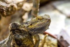 Lizard on a tree. Pogona vitticeps. Nature and wildlife Stock Photos