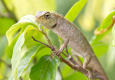 Lizard On Tree. Royalty Free Stock Photo