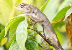 Lizard On Tree. Royalty Free Stock Images