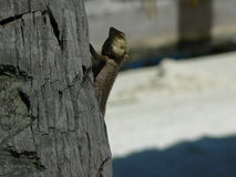Lizard. On a tree reptile tropical arthropod Royalty Free Stock Image