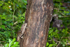 Lizard on a Tree Stock Photos