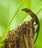 Lizard on tree stump Stock Images