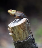 Lizard on tree stump looking Stock Photography