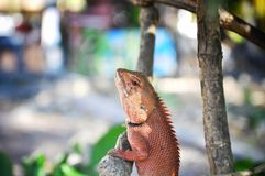 Lizard on a tree, Thailand stock photography