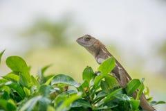 Lizard on tree tops stock image