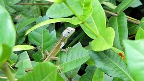 Lizard on the tree in tropical rain forest. stock video
