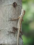 Lizard On Tree Trunk Stock Images