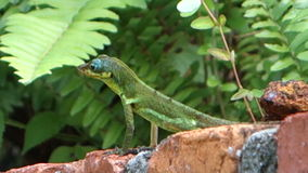 A lizard on the tropical island of bequia. Close-up of a reptilian creature at a fish pond in the windward islands stock footage