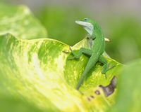 Lizard on tropical leaf Stock Photos