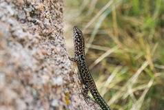 Lizard on the trunk Royalty Free Stock Photography