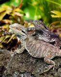 Lizard tuatara Stock Images