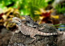 Lizard tuatara Royalty Free Stock Image