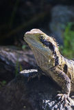 Lizard tuatara  Royalty Free Stock Photos