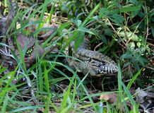Lizard Tupinambis teguixin the ground Royalty Free Stock Photo
