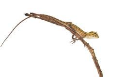 Lizard Royalty Free Stock Photos