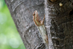 Lizard with two colors climbing up a tree Royalty Free Stock Image