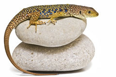 Lizard on two stones. royalty free stock photos