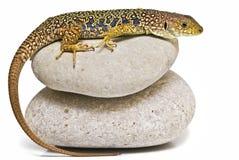 Lizard on two stones. Royalty Free Stock Photos