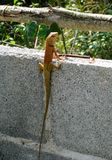 Lizard typical in asia Thailand stock images