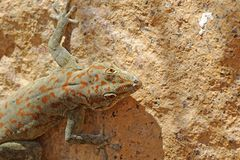 Lizard of the Ugab River Sunbathing Royalty Free Stock Photography