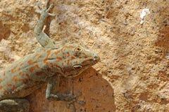 Lizard of the Ugab River Sunbathing. Ugab River, Namibia, Africa - October 1, 2011: Lizards of the Ugab River in Namibia, Africa come out of their dark crevices Royalty Free Stock Photography
