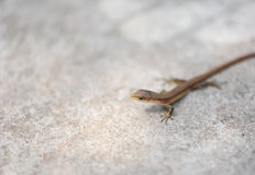 Lizard under the sunshine Royalty Free Stock Images
