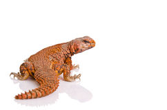 Lizard (uromastyx) Royalty Free Stock Photography