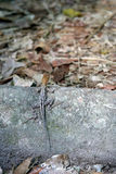 Lizard using camouflage. Tikal, Guatemala Stock Photography