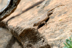 Lizard on Utah Red Rock. Fat Lizard sitting on the hot red rock of Utah`s Zion National Park Stock Images
