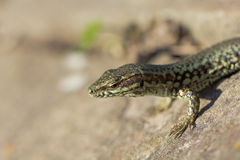 Lizard in very close view Royalty Free Stock Photography