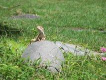 Lizard. Vietnam Asien reptil Lizard animal Royalty Free Stock Images