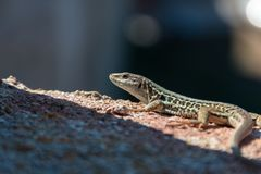 Lizard in the village Populonia, Tuscany, Italy royalty free stock image