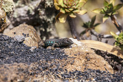 Lizard on volcanic ground Royalty Free Stock Photography