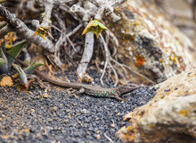 Lizard on volcanic ground Stock Images