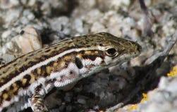 Lizard waiting Stock Image