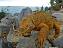 Lizard walk. Iguana reptile Galapagos darwin yellow floreana island Stock Photography