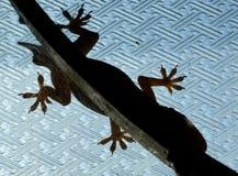 A lizard walks on a glass window. stock photography