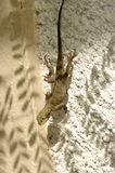 Lizard on a wall. Photo taken in west Africa royalty free stock photos