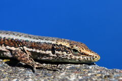 Lizard on wall Stock Image