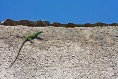 Lizard on the wall Stock Images