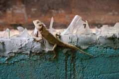 Lizard on the wall Stock Photos