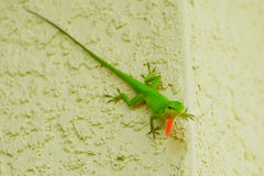 Lizard on the wall. Green Lizard with a red dewlap on a wall Stock Photography