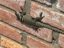 Lizard on the Wall. A lizard clings to the wall in a Mexican ranch Stock Photos